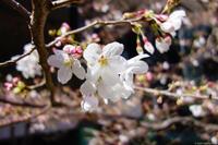 京橋の桜 2