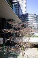 京橋の桜 1