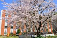 八千代医療センターの桜